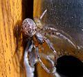 Zygiella x-notata - Flickr - gailhampshire.jpg