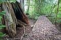 '10 HUGE stump and abandoned nature walk way near Winlaw - panoramio.jpg