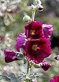 'Alcea rosea' Halo Series Hollyhock Cerise closeup Henham Essex England.jpg