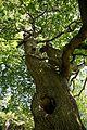 'Quercus robur' English oak in the Pleasure Grounds at Parham Park, West Sussex, England.jpg