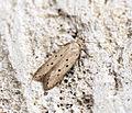 (0762) Athrips mouffetella (14668963084).jpg