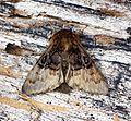 (73.032) (BF2425) Nut-tree Tussock (Colocasia coryli) - Flickr - Bennyboymothman.jpg