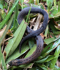 (Aspidura trachyprocta) Common rough-side Snake.jpg
