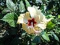 (Hibiscus rosa-sinensis) Yellow at Teruvupalli.JPG