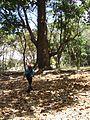 Árbol de Mijao (Anacadium excelsum) adulto. Quebrada de la Virgen. Guanare. Portuguesa.JPG