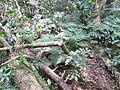 Árvore de Palmito Juçara Derrubada.JPG