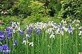 Ірис сибірський у ботанічному саду.jpg