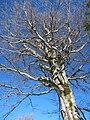 Беклемето - дърво.jpg