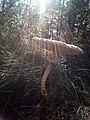 """Великі мухомори по дорозі до """"Поліського природного заповідника"""" 01.jpg"""