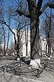 Віковий дуб, Печерський район вул. Суворова.jpg