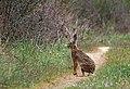Заяц-русак - Lepus europaeus - Brown hare - Див заек - Feldhase (33932994502).jpg