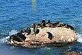 Из жизни байкальской нерпы близ Ушканьих островов 03.jpg