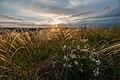 Крейдова флора, ковила на закаті.jpg