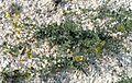 Крейдяні відслонення Linaria cretacea.jpg