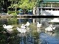 Новый Афон. Лебеди в Приморском парке - panoramio (5).jpg