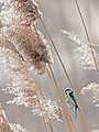 Обыкновенная лазоревка - Cyanistes caeruleus - Eurasian blue tit - Син синигер - Blaumeise (32251319894).jpg