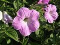 Растения в Седово 225.JPG