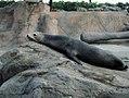 Северный морской котик (Callorhinus ursinus).jpg