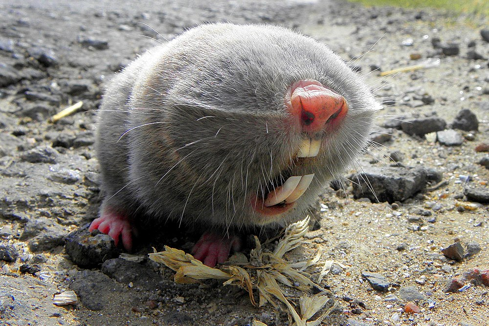 The average litter size of a Lesser mole-rat is 3