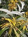 கத்திக் கருவேல் 5(Acacia auriculiformis).jpg