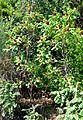 თუთუბო Rhus coriaria Gerbersumach, Gewürzsumach (2).JPG