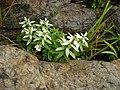 ミネウスユキソウ-(峰薄雪草)(Leontopodium japonicum var. shiroumense) (6065290888).jpg