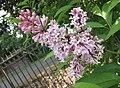 丁香屬 Syringa x prestoniae 'James Mcfarlane' -比利時國家植物園 Belgium National Botanic Garden- (9163794457).jpg