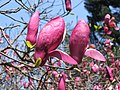 二喬木蘭 Magnolia x soulangeana -香港嘉道理農場 Kadoorie Farm, Hong Kong- (9200878162).jpg