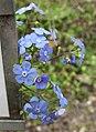 大葉藍珠草 Brunnera macrophylla -比利時 Ghent University Botanical Garden, Belgium- (9198131187).jpg