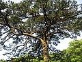 安徽 黄山 - 发财树 - panoramio.jpg