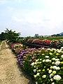 宮荘川のアジサイ - panoramio.jpg
