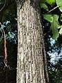柚木 Tectona grandis 20210907093544 07.jpg