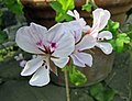 盾葉天竺葵 Pelargonium peltatum (Pelargonium lateripes) -比利時國家植物園 Belgium National Botanic Garden- (9240152274).jpg