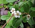 矮生栒子 Cotoneaster dammeri -維也納高山植物園 Belvedere Alpine Garden, Vienna- (28506387623).jpg