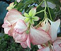 粉葉金花 Mussaenda philippica Queen Sirikit -沖繩東南植物樂園 Southeast Botanical Gardens, Okinawa- (9580710305).jpg