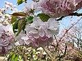 糸括櫻 Cerasus serrulata Fasciculata -日本京都植物園 Kyoto Botanical Garden, Japan- (26888285737).jpg