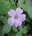 結節老鸛草 Geranium nodosum Simon -比利時 Leuven Botanical Garden, Belgium- (9198171817).jpg
