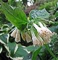 維吉尼亞濱紫草 Mertensia virginica -比利時 Leuven Botanical Garden, Belgium- (9237450027).jpg