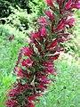 藍薊屬 Echium russicum -維也納大學植物園 Vienna University Botanical Garden- (28940281822).jpg