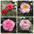 雲南山茶 Camellia reticulata cultivars -深圳園博園茶花展 Shenzhen Camellia Show, China- (38797154000).jpg