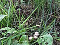 -2018-08-15 Toadstools, Paston way, Trimingham (4).JPG