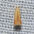 - 0126 – Coptotriche citrinipennella (probable) (17188127526).jpg