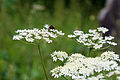 .All Saints churchyard, Nazeing, Essex, England ~ cow parsley and bee 02.JPG