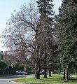 03 2012 Bystrice-pod-Hostynem pamatny-strom Katalpy-na-Schwaigrove-namesti.jpg