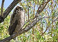 0429 great horned owlett munsel odfw (5806248286).jpg