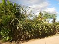 0638jfPaddy fields Pitaya Ilog-Bulo San Miguel Bulacan Farm Market Roadfvf 01.jpg