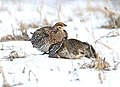 086 - SHARP-TAILED GROUSE (4-19-2016) 20-mile lek, routt co, colorado -09 (26607454422).jpg