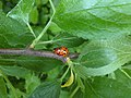 10Harmonia axyridis.jpg