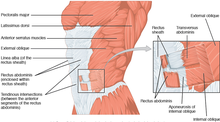 1112 Muscles of the Abdomen Anterolateral.png