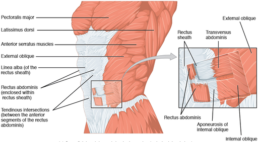 1112 Muscles of the Abdomen Anterolateral